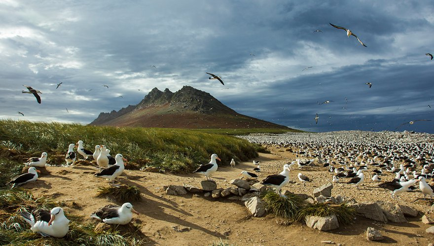 Albatrossen op Steeple Jason / Otto Plantema