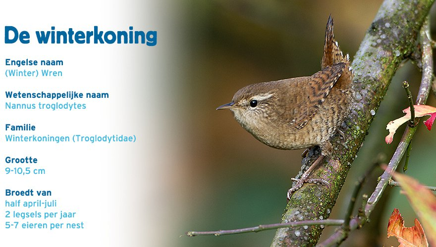 Winterkoning paspoort tuinvogelcursus