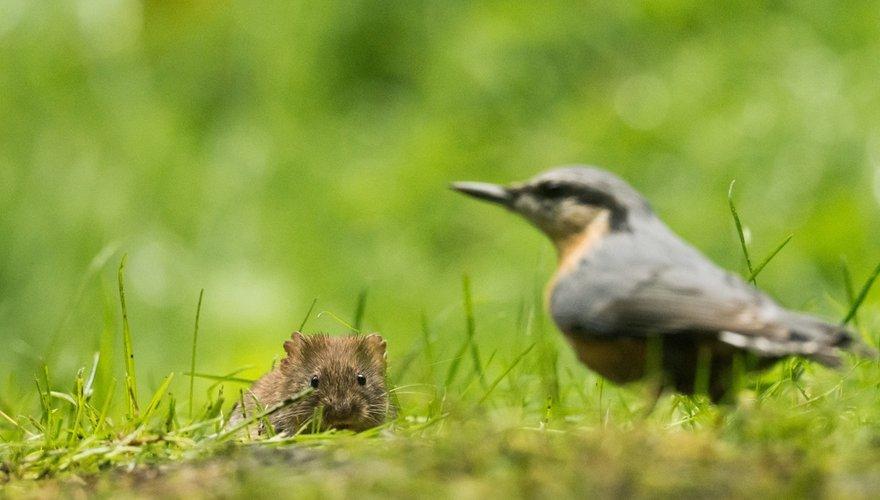 Rosse woelmuis boomklever / Hans Peeters