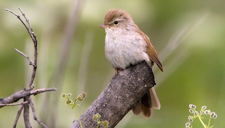 Cetti's zanger / Birdphoto