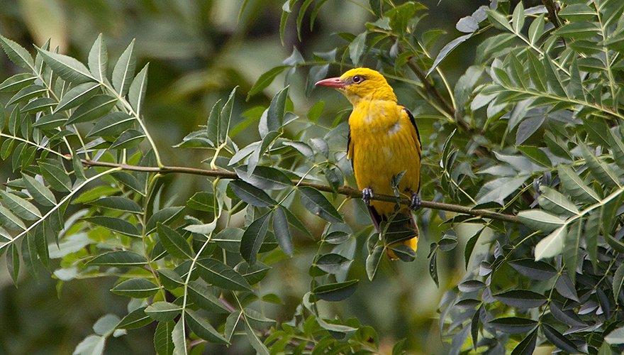 Wielewaal / Birdphoto