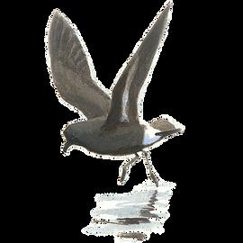 Stormvogeltje / Elwin van der Kolk