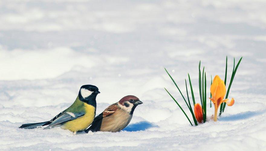 Koolmees en ringmus in de sneeuw met krokus / Shutterstock