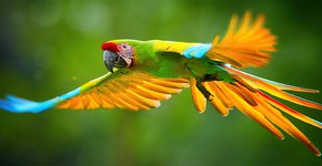 Great green macaw / Shutterstock