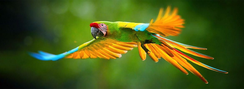 Great green macaw / Shutterstock