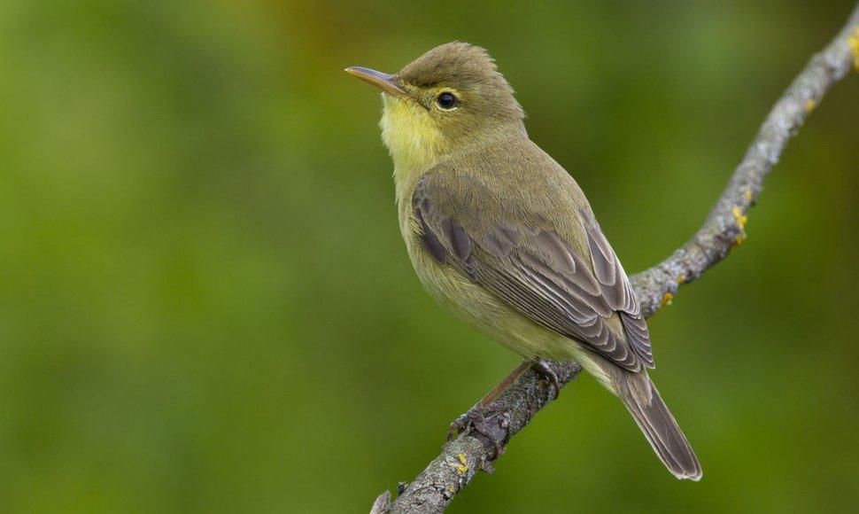 Orpheusspotvogel / Agami