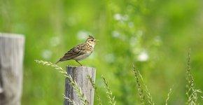 Veldleeuwerik / Shutterstock