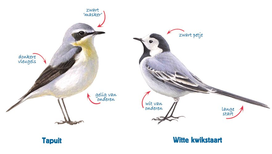 Infographic tapuit - witte kwikstaart