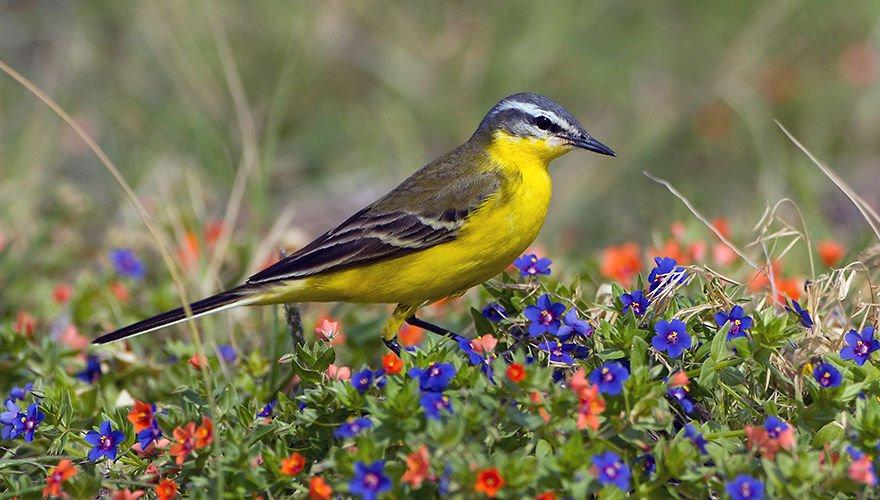 gele kwikstaart / Birdphoto