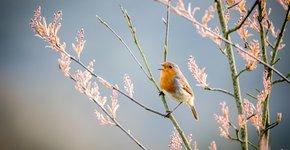 Roodborst op krentenboompje / Shutterstock