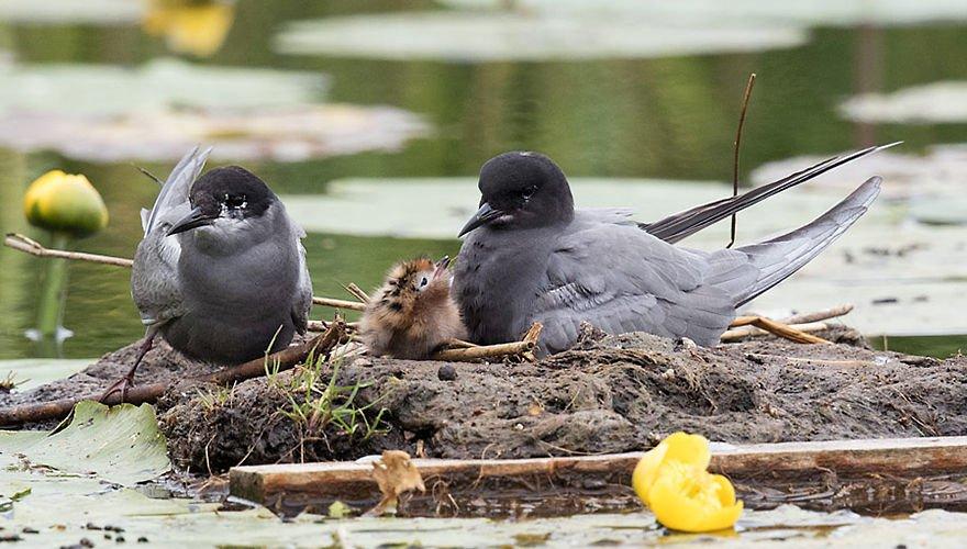 Zwarte stern / Birdphoto