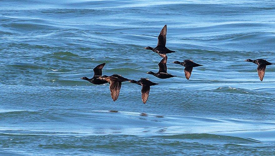 Zwarte zeeeend / Shutterstock