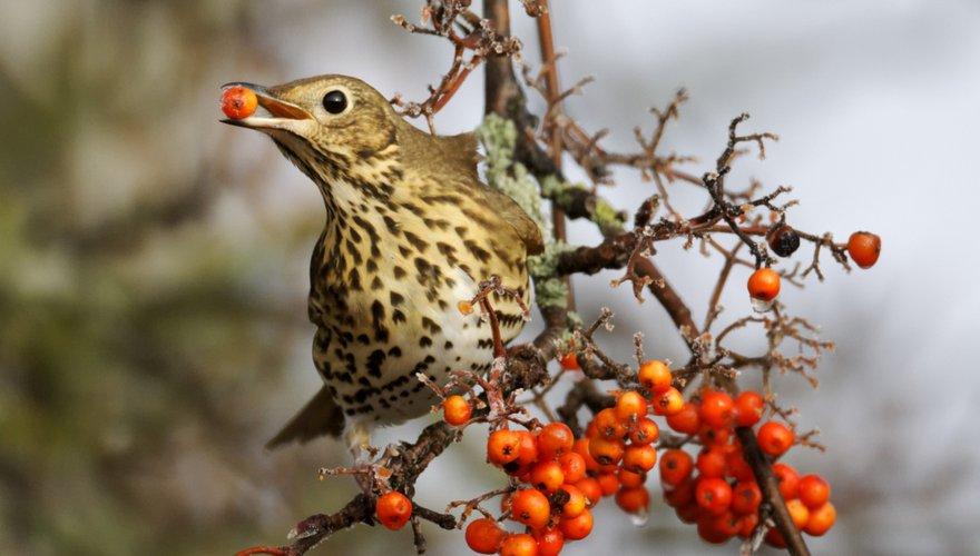 Zanglijster lijsterbes / Shutterstock