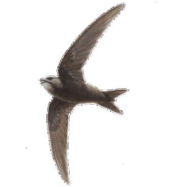 Gierzwaluw / Elwin van der Kolk