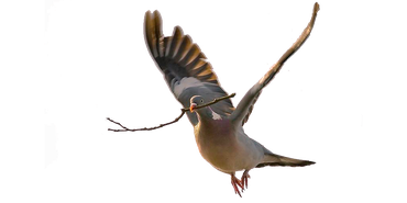 Houtduif / Picsxl (Vogelweb)