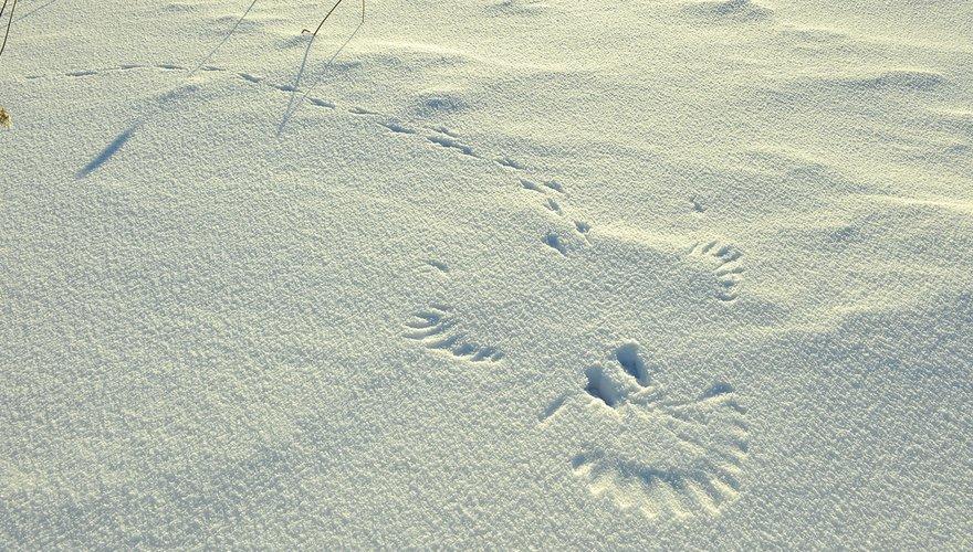 Sporen ekster in sneeuw / Shutterstock