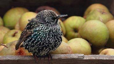Spreeuw / Linda van der Veeken - Vogelweb