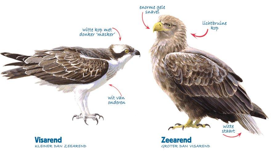 Infographic visarend - zeearend
