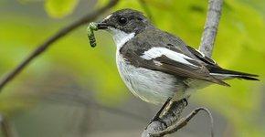 Bonte vliegenvanger / Shutterstock