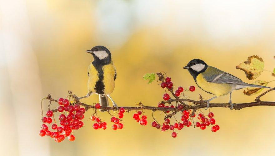Koolmees bes / Shutterstock