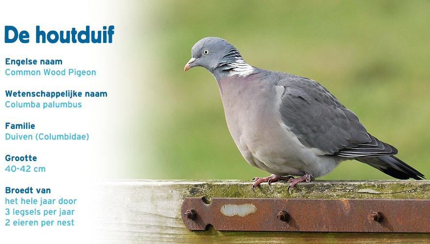 Houtduif paspoort tuinvogelcursus