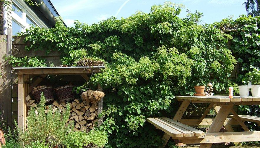 Klimhortensia in tuin / Jeanet van Zoelen