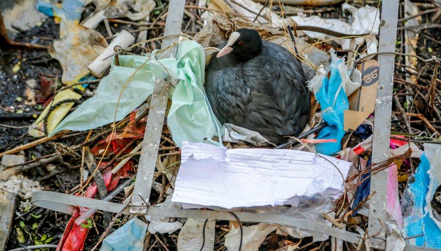 Meerkoet nest plastic / Shutterstock