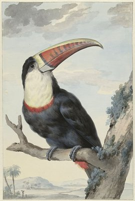 Koninklijk Paradijs roodnaveltoekan Aert Schouman