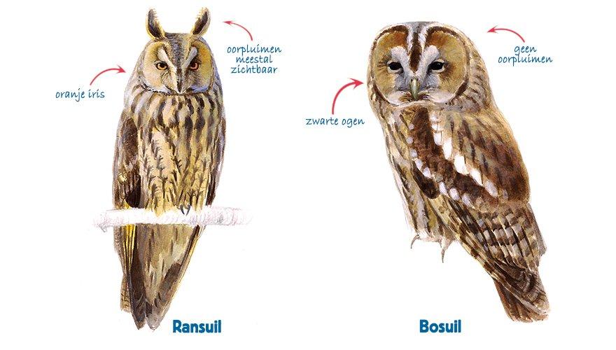 infographic ransuil - bosuil