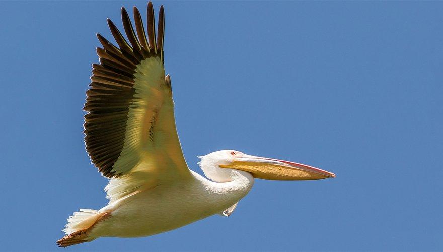 Roze pelikaan / Tohar Tal