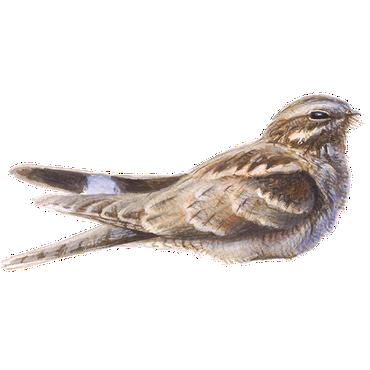 Nachtzwaluw / Elwin van der Kolk