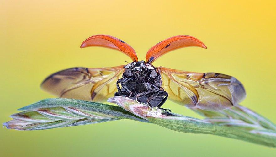 Lieveheersbeestje / Shutterstock