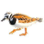 Steenloper