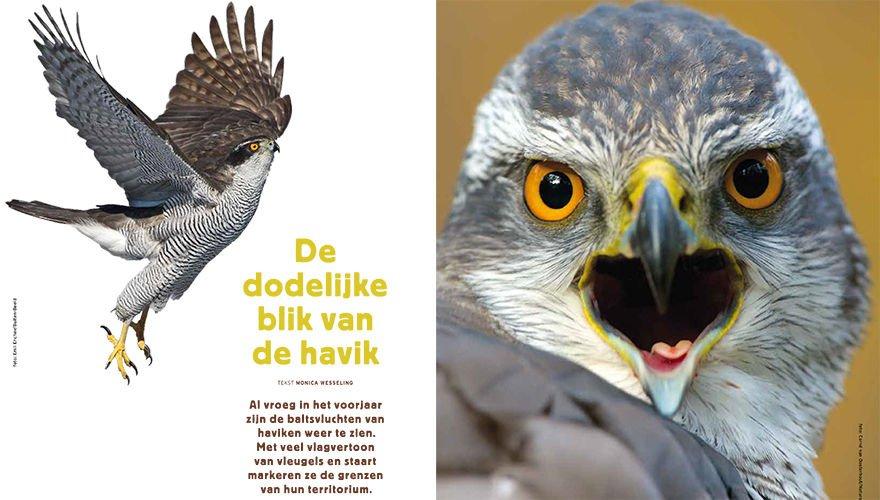 Spread havik - Vogels1701