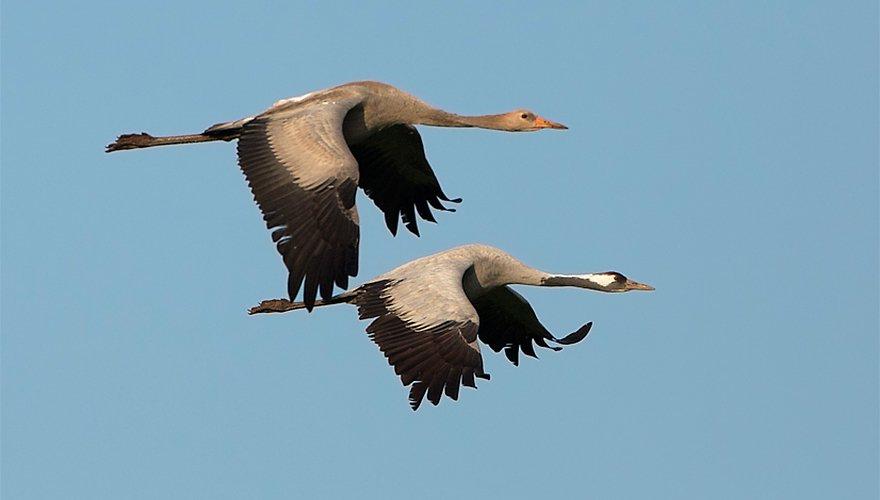 Kraanvogels / Birdphoto