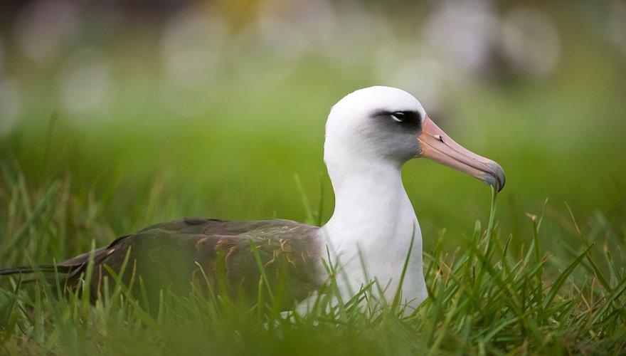 Laysan albatros / Shutterstock
