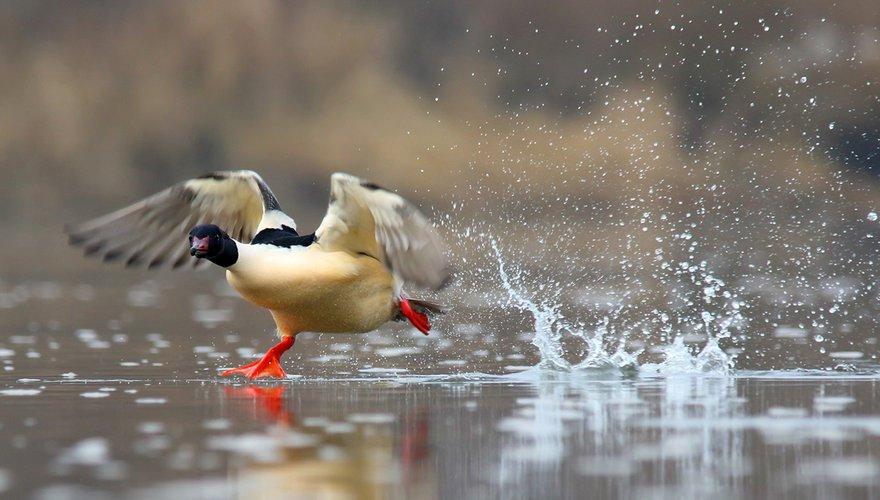 Grote zaagbek / Shutterstock