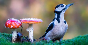 Grote bonte specht en paddestoelen / Shutterstock