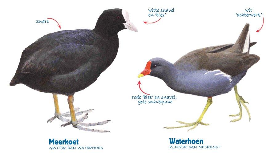 Infographic meerkoet-waterhoen