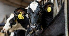 De koeien van Wes Korrel / Fred van Diem
