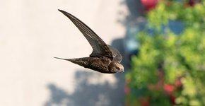 Gierzwaluw / Shutterstock