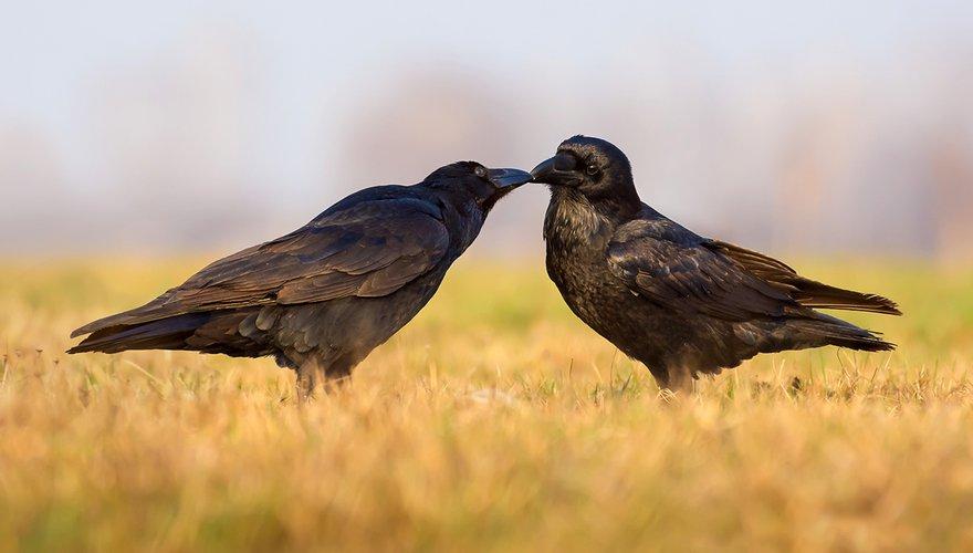 Raven / Shutterstock