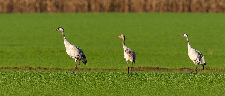 Kraanvogels / Wil Leurs - Agami