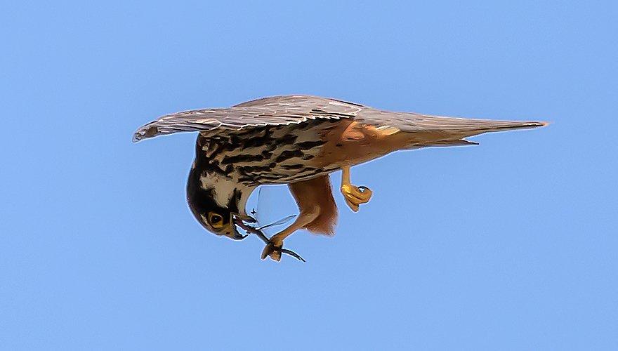 Boomvalk met insect / Richard Gladines - Fotogalerij