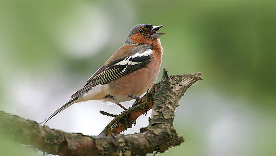 Vink / Birdphoto