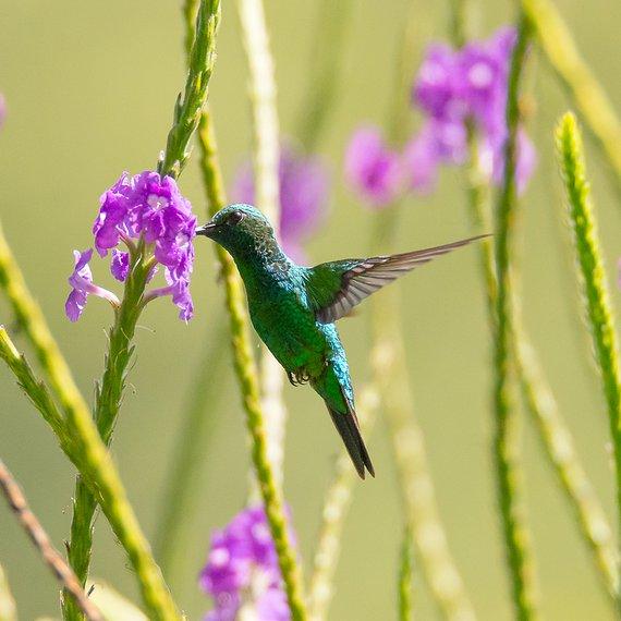 Rivoli's kolibrie / Hans Peeters