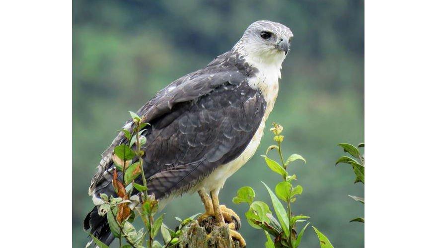 Greybacked hawk / Arjan Dwarshuis