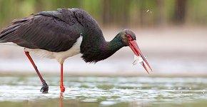 Zwarte ooievaar / Shutterstock