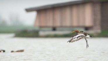 Grutto bij vogelkijkhut Wommels / Hans Peeters