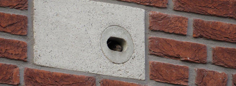 neststeen gierzwaluw / Jochem Kuhnen
